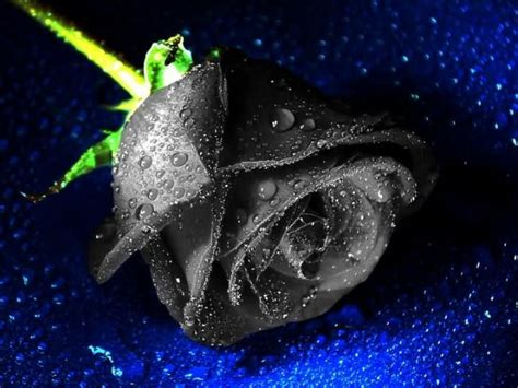 Mawar Slit flowers pictures black picture 3