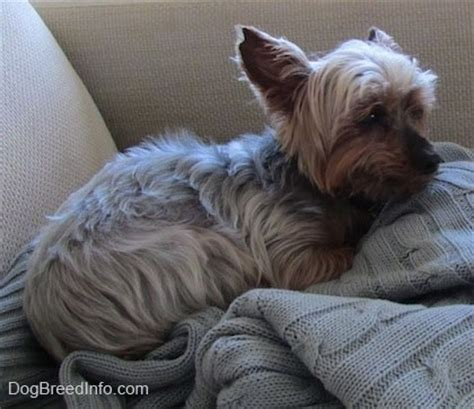 9 lb yorkie best 25 pound dogs breeds picture