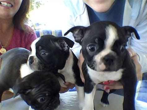 boston terrier puppies for sale in florida puppies for sale boston terrier boston terriers bostons f category boston