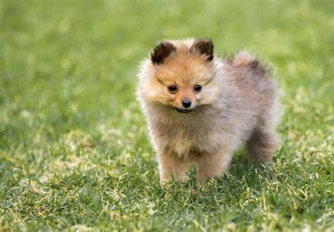 how much should a pomeranian weigh purebred pomeranian weight loss ditoday