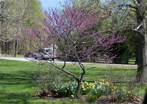 cercis canadensis eastern redbud