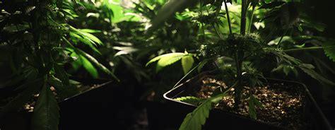 cannabis coltivazione in vaso coltivazione di cannabis interni rqs