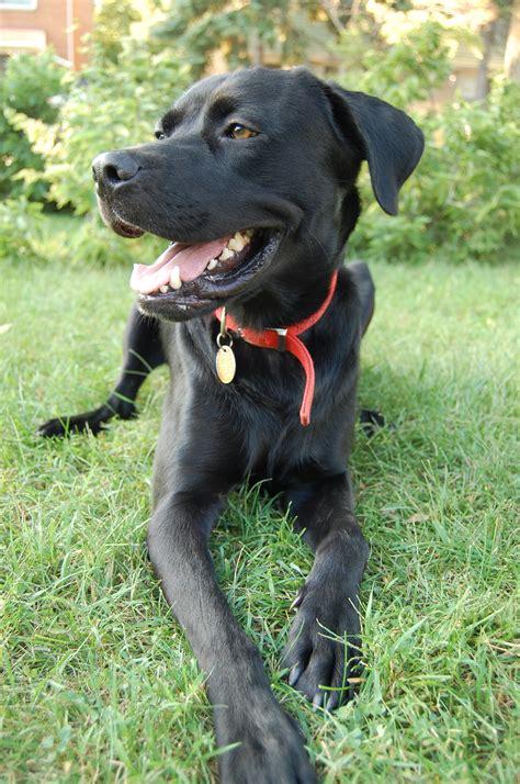 rottweiler labrador mix temperament boxer lab mix images breeds picture