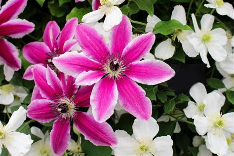 Types Of Clematis Hgtv Types Of Garden Plants And Flowers