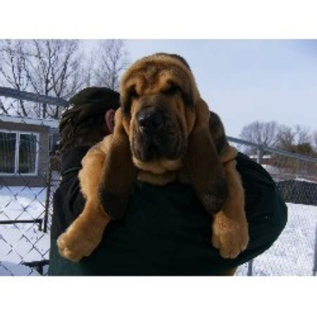bloodhound puppies for sale in michigan mountain crest bloodhounds bloodhound breeder in cadillac michigan