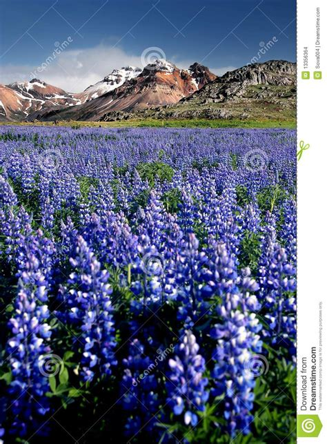 fireweed field stock photo image of hill lupinus termis 13356364