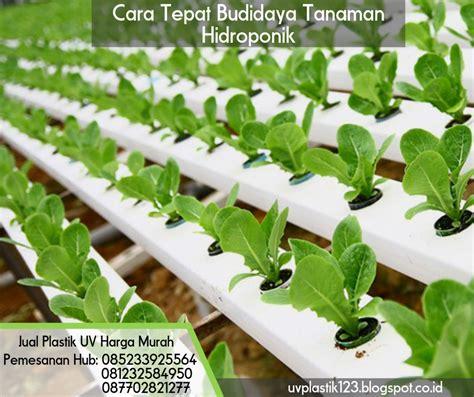 Jual Bibit Kangkung Sidoarjo cara tepat budidaya tanaman hidroponik pabrik dan