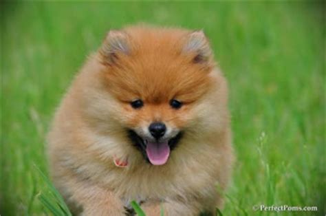 pomeranian puppies for sale in toronto puppies for sale in toronto canada pomsky puppies gallery