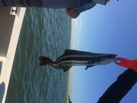charter boat fishing at topsail island nc topsail beach fishing charters cobia with genetic disease