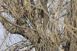 Camo Comforter Another First For Beijing Birding Beijing 北京观鸟