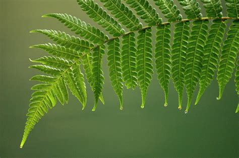 Duvet Define Fern Frond With Drip Tips Photograph By Pete Oxford