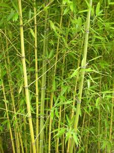 cold hardy 26ft phyllostachys platyglossa tropical bamboo plant 5g ebay