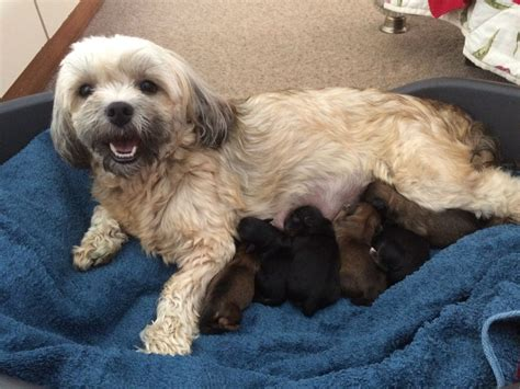 lhasa apso x yorkie puppies for sale lhasa apso x terrier puppies for sale beccles suffolk pets4homes