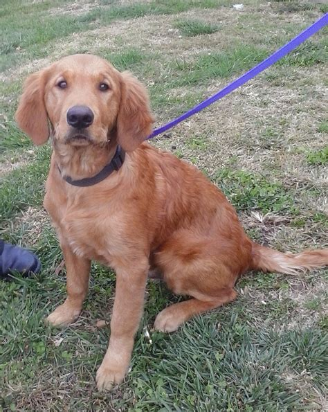 golden retriever for adoption ready for adoption golden retriever mixed coat named breeds picture