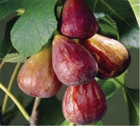 Buah Tiin mengenal buah tin manfaatnya tin buah langka