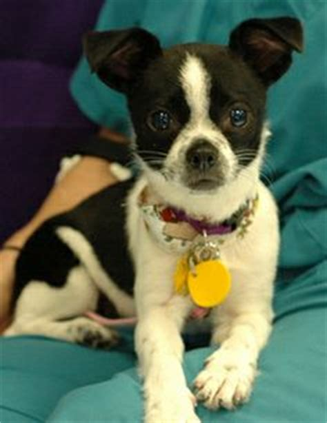 boston terrier chihuahua mix puppies 1000 images about boston terrier mix breeds on boston terriers dachshund