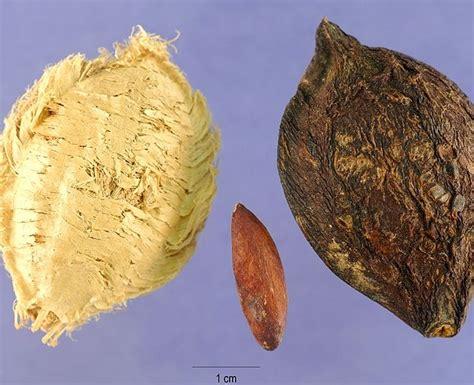 1 Biji Benih Buah Limeberry benih ketapang almond toko benih tanaman
