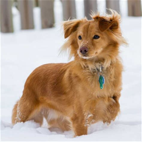 golden retriever x dachshund golden dox breed 187 everything about golden retriever x dachshund