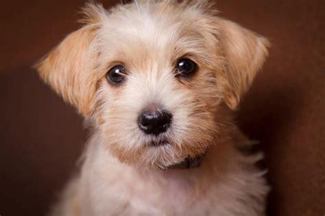shih tzu maltipoo mix 17 best ideas about maltese poodle on maltipoo