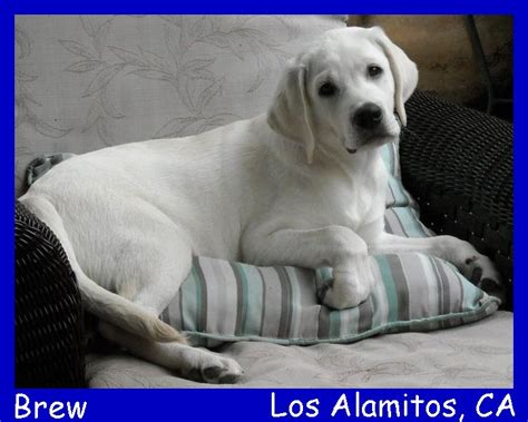 labrador puppies for sale in los angeles labrador puppies for sale los angeles dogs in our photo