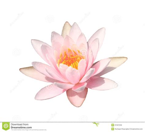 Emberly Top Z By Lotuz pink water on white background pink lotus stock image