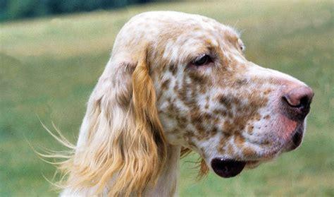 english setter apartment dog english setter breed information