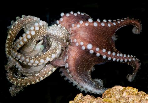 Octupus L by Bizarrely Social And Crafty Octopus Stuns Scientists