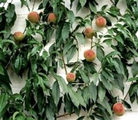 splicing fruit trees how to espalier apple trees tips for pruning multi