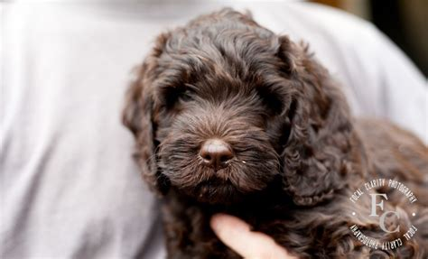 theme names for puppy litters cappa chino trail s end labradoodles