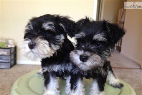 schnauzer puppies for sale near me schnauzer miniature for sale for 600 near sacramento california a6a3cfdd f7f1