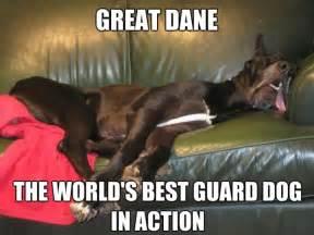 Great Dane Meme - best 25 great dane funny ideas on pinterest great danes