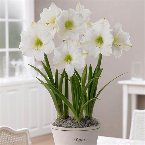 34 36 cm amaryllis christmas gift 10000252 the home depot