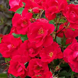 knockout roses colors tips for growing roses