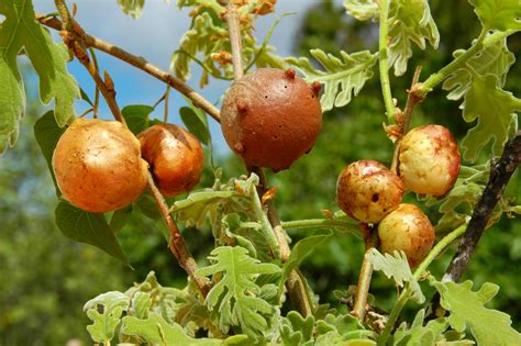 Oak Galls sf gynecologist don t put oak galls for wasp larvae on your sfgate