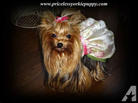 teacup yorkie akc akc teacup yorkie for sale for sale in jackson michigan