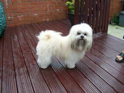 lhasa apso puppies for adoption lhasa apso puppies for sale in white colour 09718292706 for sale adoption from new