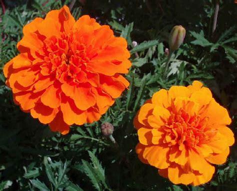 fiori arancioni nomi piante da vaso tagetes tagete tagetes erecta tagetes