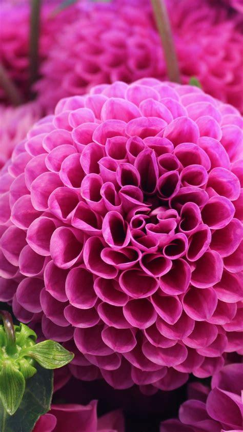 wallpaper dahlia flower pink dahlia  flowers
