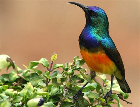 the sunbird what a lovely day for a sunbird featured creature