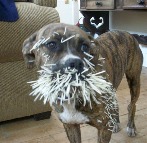 dog quilled   porcupine effective wildlife solutions