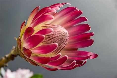 Afika Hitam Pink pink petalled holed flower 183 free stock photo