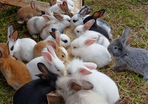 Kandang Kucing Wonosobo kelinci hias perawatan kandang dan harganya