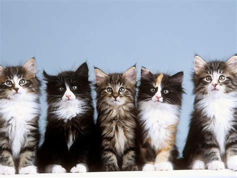 webshots cats webshots young norwegian forest cats