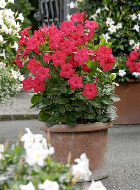 dipladenia fiore mandevilla dipladenia dipladenien fleures merveilleuses