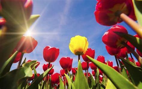 Ransel Tulip 3 In 1 history of tulips in