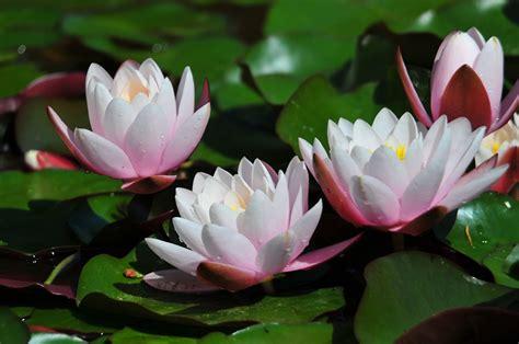 wallpaper bunga teratai cantik air teratai air teratai bunga melihat bunga gambar