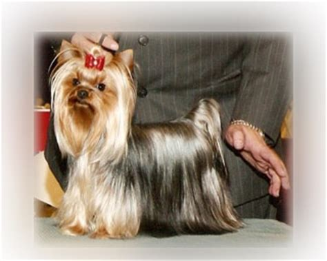 teacup puppies for sale missouri 1000 ideas about teacup yorkie on yorkie terriers and yorkie