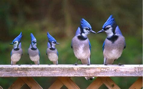 quot the bluejay family quot this picture is photoshopped baby