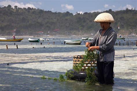 Rumput Laut Nori Seasoned Laver seaweed farming