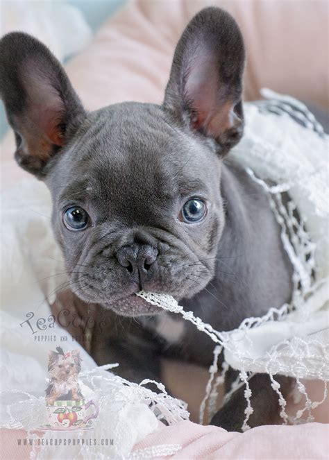 blue frenchie puppy blue frenchie puppies for sale in davie florida teacups puppies boutique